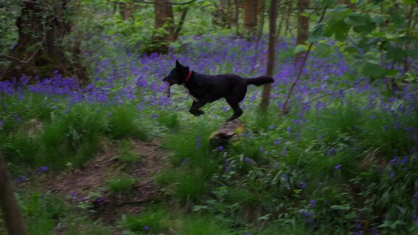 shep_leaping_in_bluebells